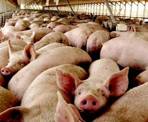 la-gripe-porcina-o-influenza-porcina-x-42